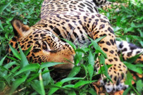 "Jaguar | Bild: Centro de Rescate ""Las Pumas"""