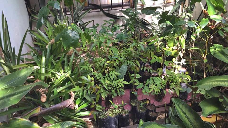 Kleine Bäume, bereit zur Pflanzung in der nächsten Regenzeit in Lanas, Purical