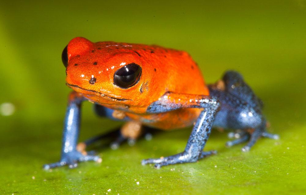 Blue Jeans-Frosch (Ofaga pumilio) Pfeilgiftfrosch Costa Rica