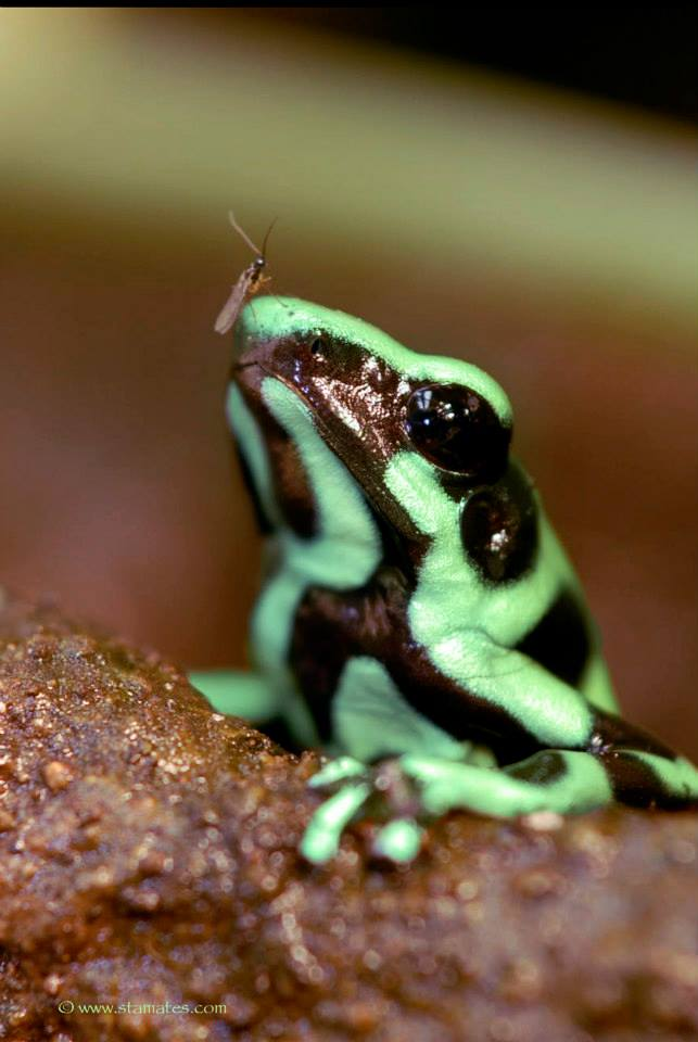 Goldbaumsteiger (Dendrobates auratus) Pfeilgiftfrosch Costa Rica 03