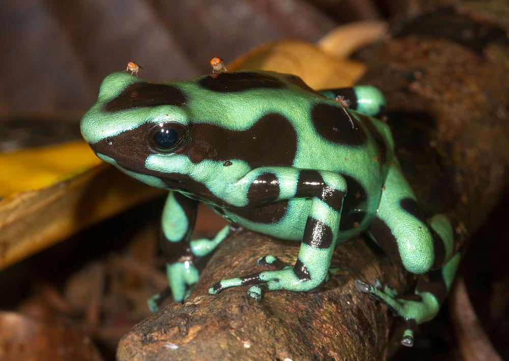 Goldbaumsteiger (Dendrobates auratus) Pfeilgiftfrosch Costa Rica