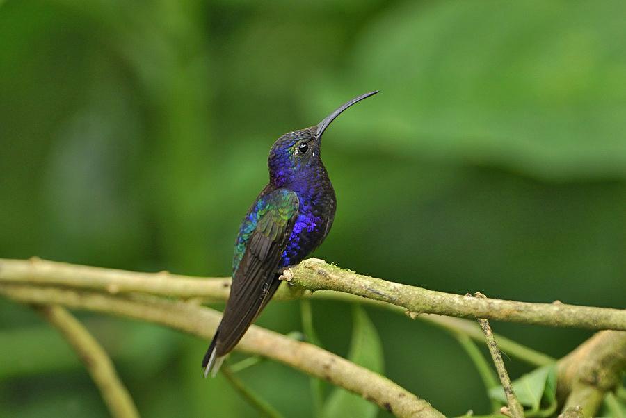 Violet Sabrewing (Campylopterus hemileucurus)Costa Rica