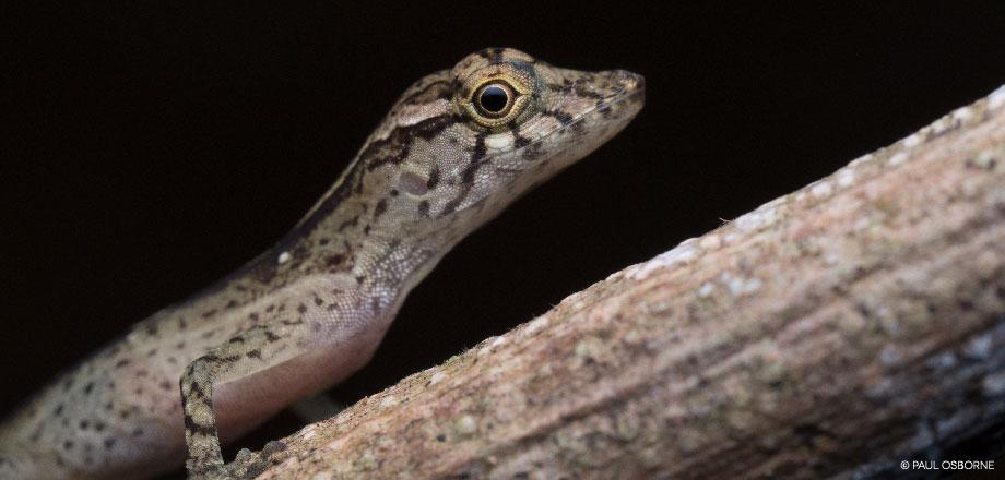 La Tarde – Eidechse | Costa Rica