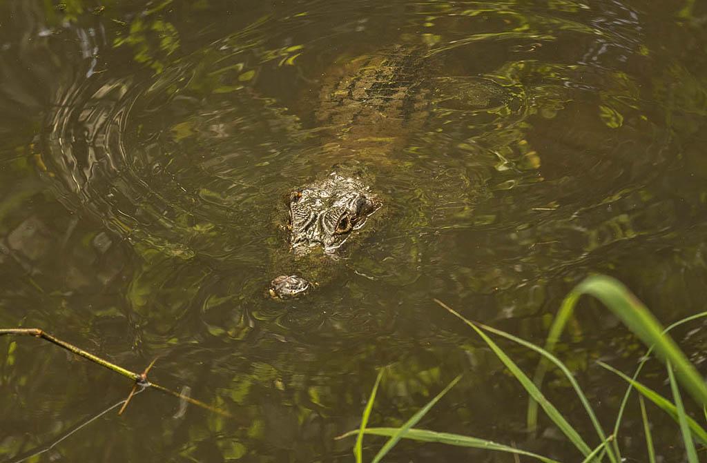 Gandoca Manzanillo – Krokodil ATEC