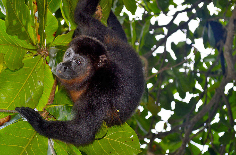 Manzanillo – Bruellaffe Refugium Gandoca ATEC