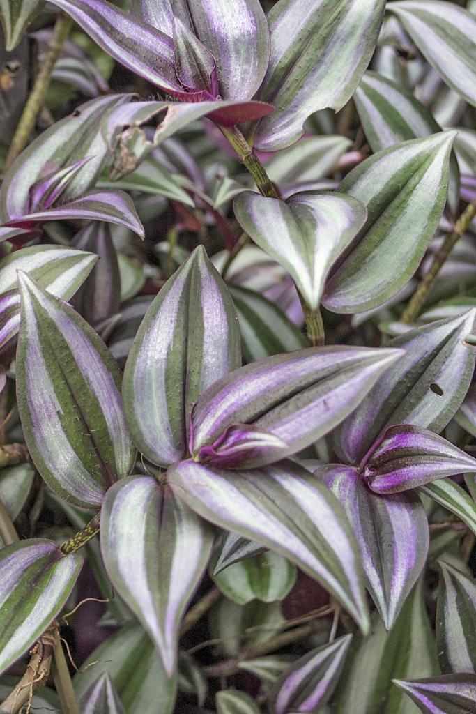 Veronicas Place -Medizinische Pflanzen ATEC