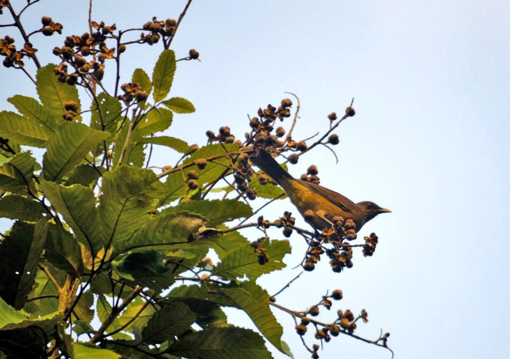 Birding Tour – Manzanillo Gilbdrossel ATEC