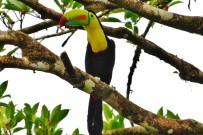 Birding Tour - Manzanillo Tukan ATEC