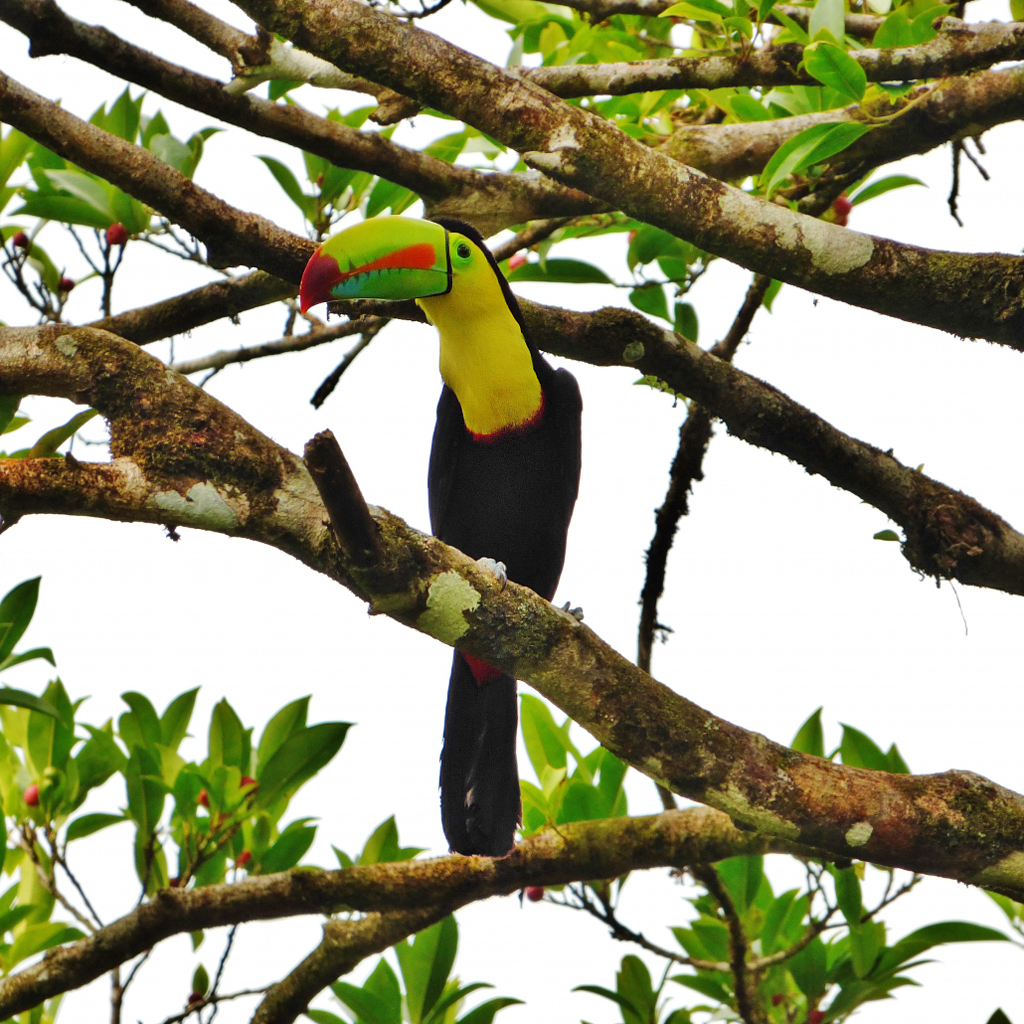 Birding Tour – Manzanillo Tukan ATEC