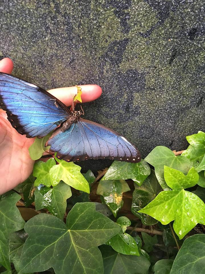 Blauer Morpho Falter – Costa Rica