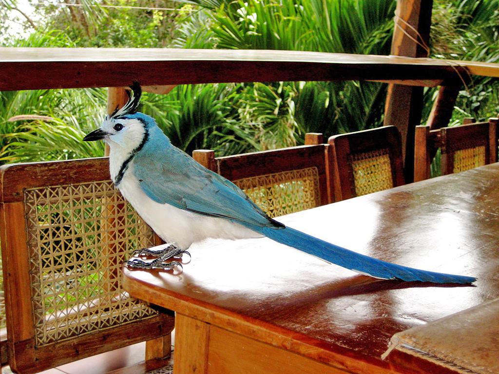 Guanacaste – Langschwanz Häher