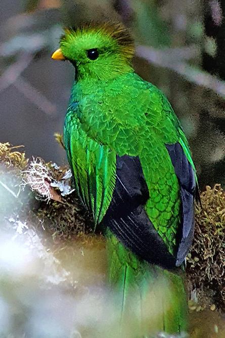 Guanacaste Schutzgebiet – Quetzal Vogel