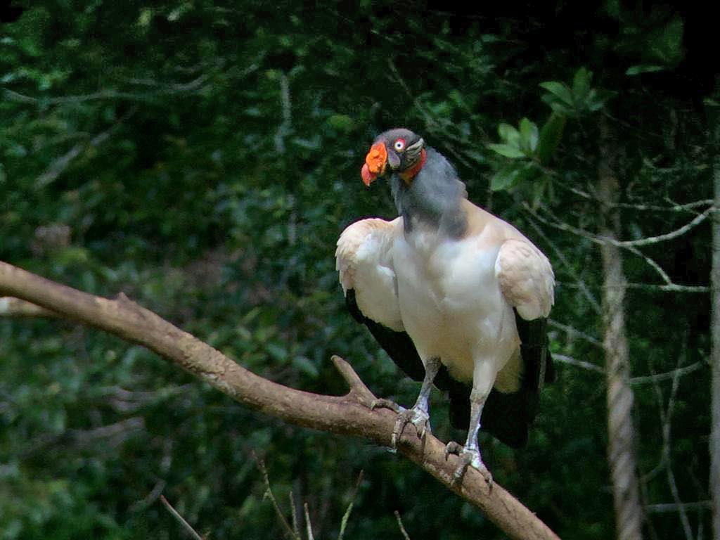 Königsgeier – Boca Tapada