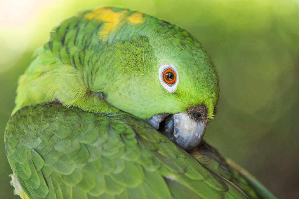 Aroma de Campo Papagei Koki