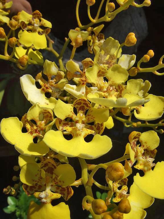 Aroma de Campo Orchideen
