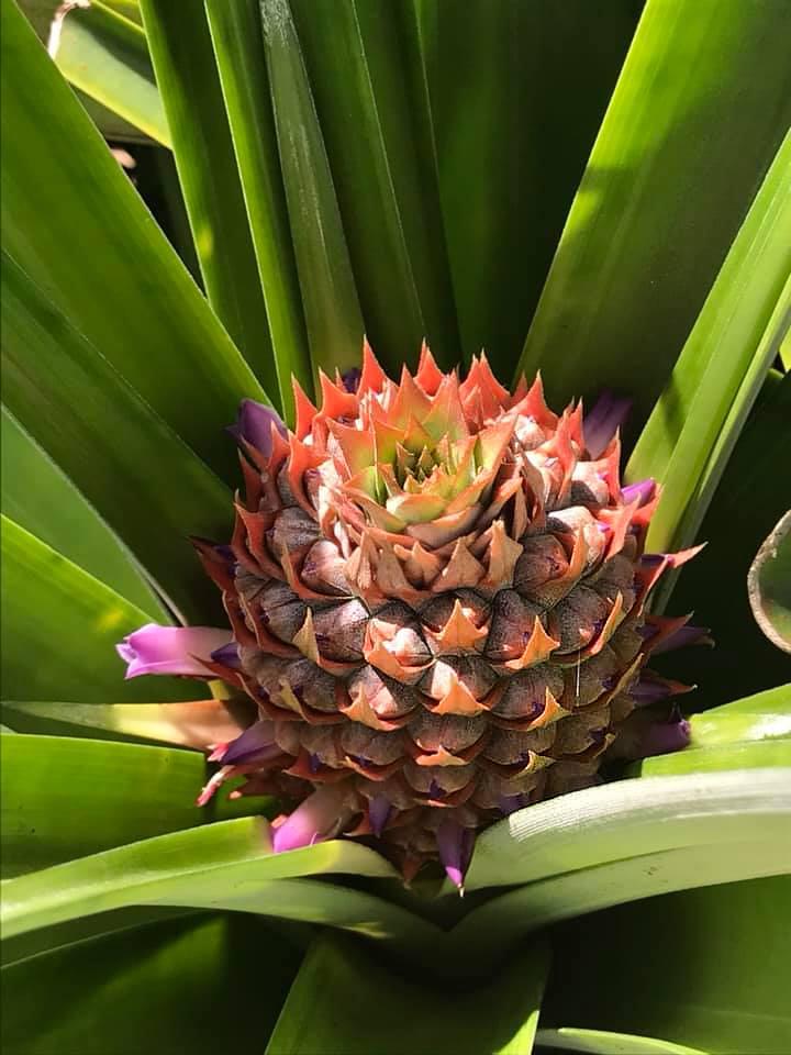 Don Belicio – junge Ananas Früchte