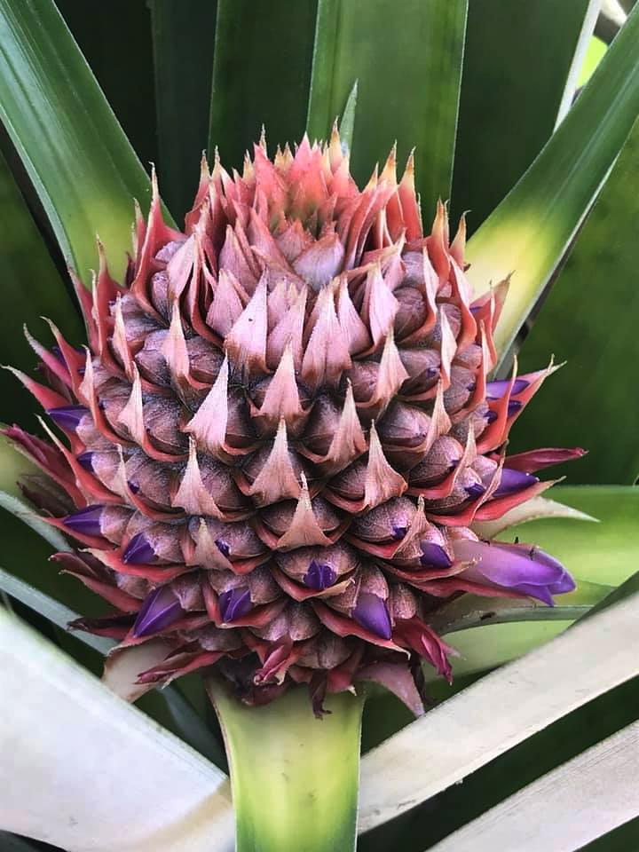 Don Belicio – organische Ananas