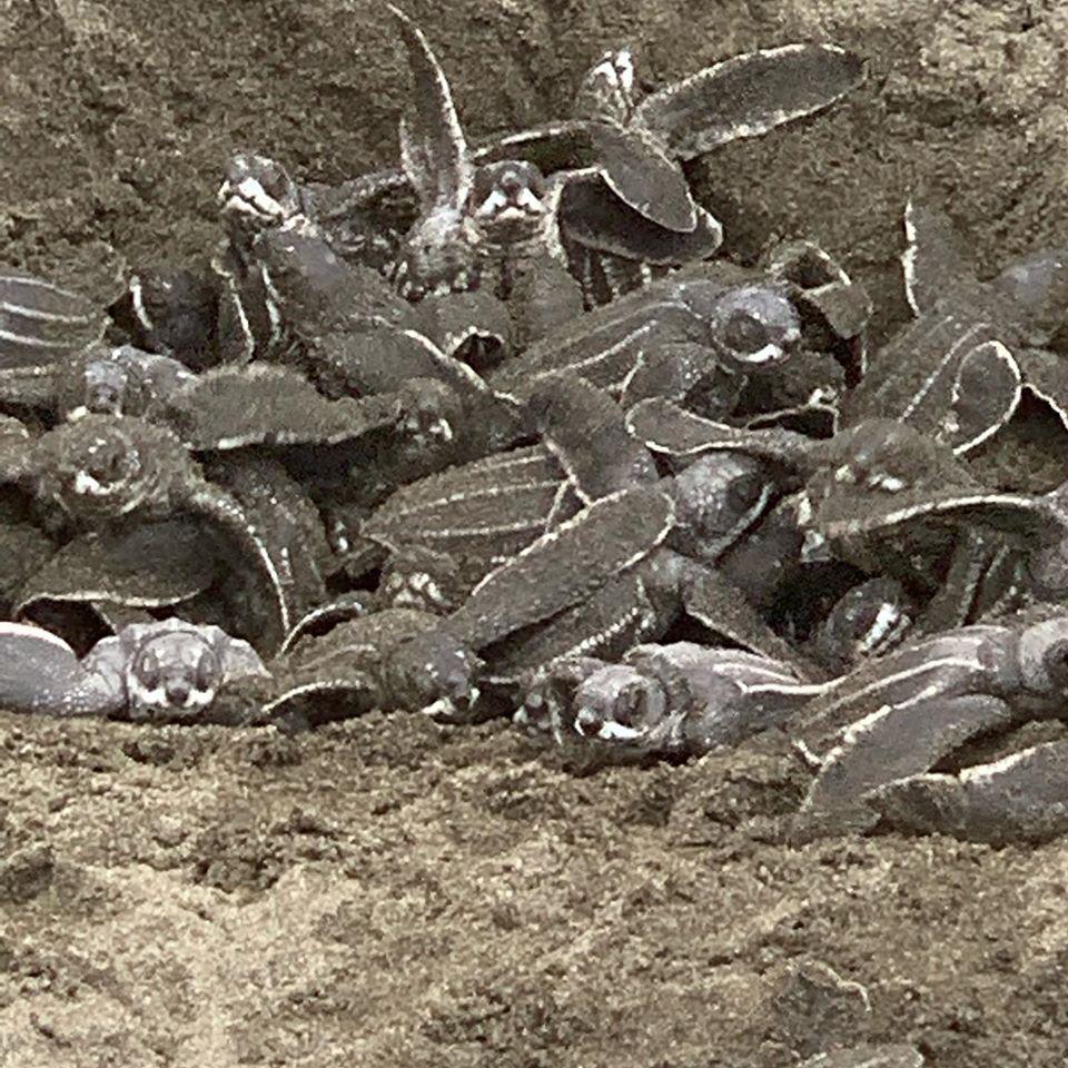 Pacuare Reservat – Schluepfen der jungen Schildkroeten