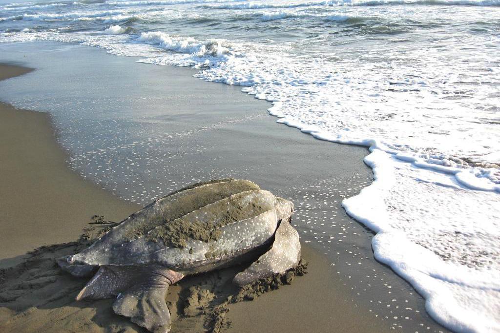 Pacuare Reserve – Meeresschildkröte
