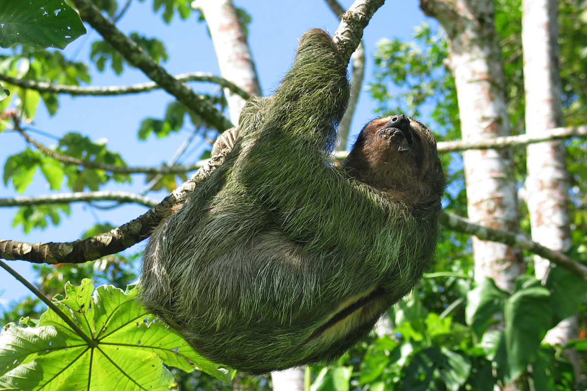 sloths-faultiere-in-costa-rica
