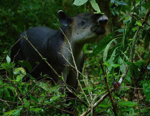 tapir_corcovado