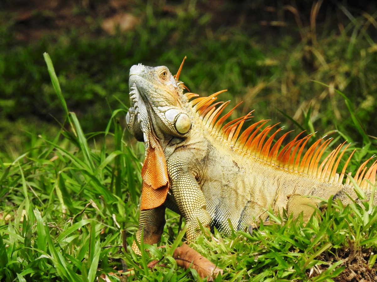 arenal-guide-piere-iguana