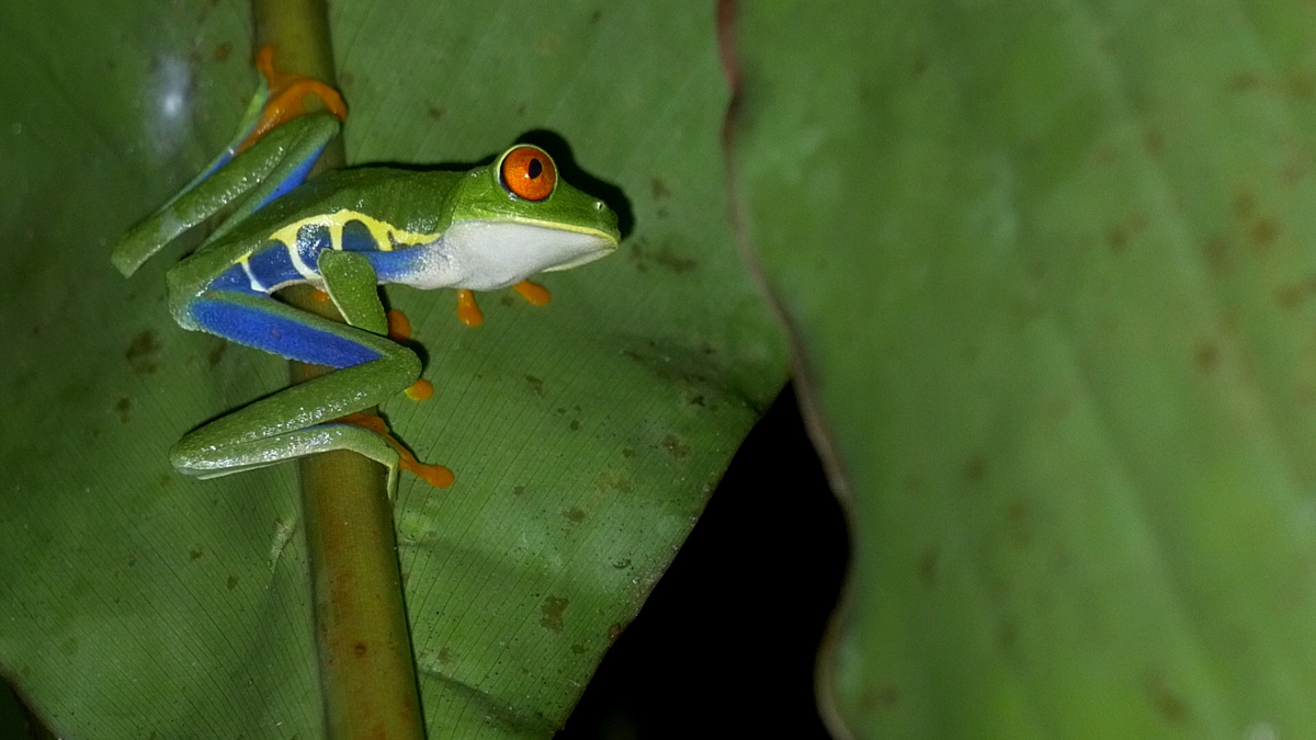 arenal-guide-piere-nachttour-frosch-01