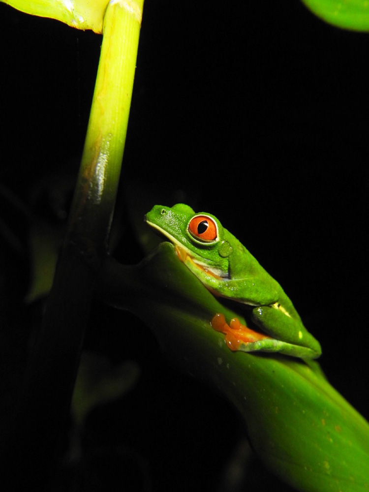 arenal-guide-piere-nachttour-frosch-02