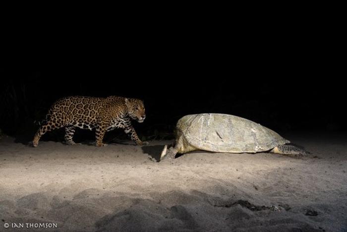 costa-rica-micha-siegfried-jaguar-tortuguero