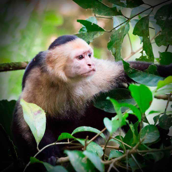 costa-rica-micha-siegfried-picture-monkey-tortuguero